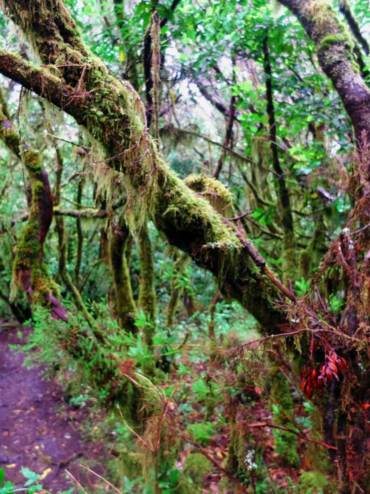 In den Nebelwald - Moosbehangen