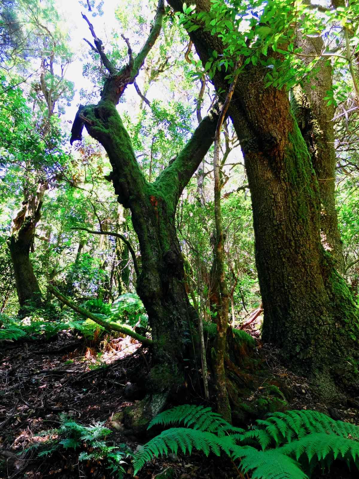Die höchsten Berge von La Gomera - In den Regenwald